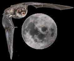 Vampire Bat and the Moon